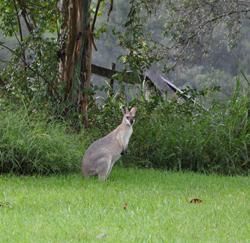 Kangaroo visitor at Jacky Lowry's art and printmaking studio.