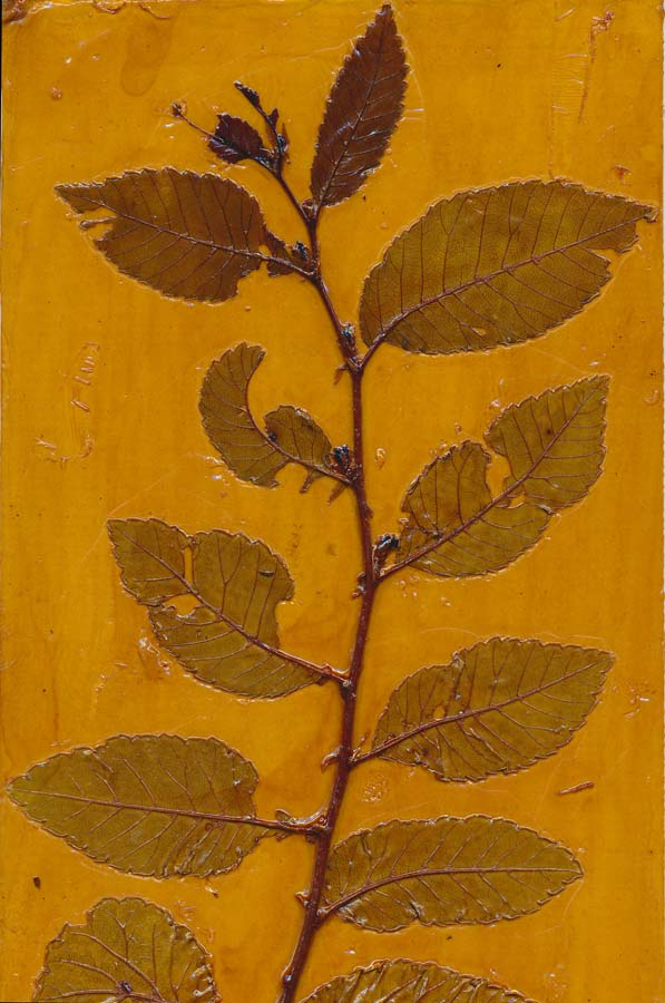 Cotoneaster 4 collagraph printing plate